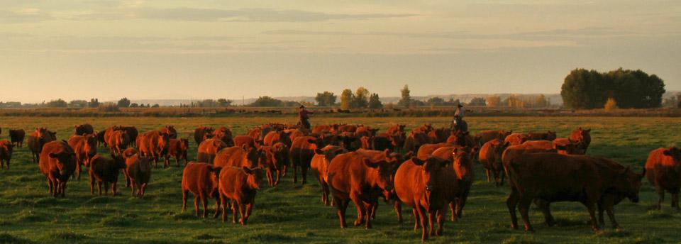 Angus Bull Breeding